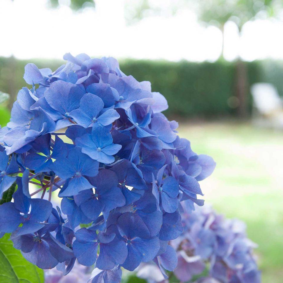 hortensia hoeve linnerveld